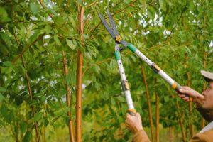 Pruning a shrub