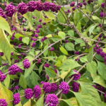 American Beautyberry shrub with fruit