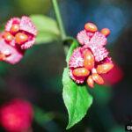Eunoymous fruit
