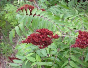 Smooth sumac bush seeds
