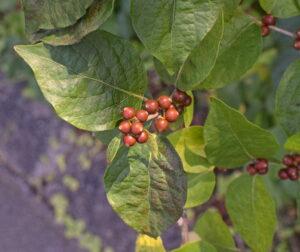 dogwood berries ripening